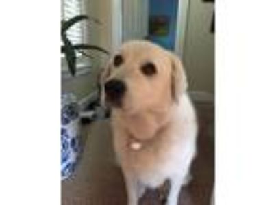 Adopt Lizzy a White Great Pyrenees / Labrador Retriever dog in Auburndale