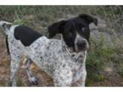Adopt AXEL a Black - with White Pointer / Australian Cattle Dog / Mixed dog in
