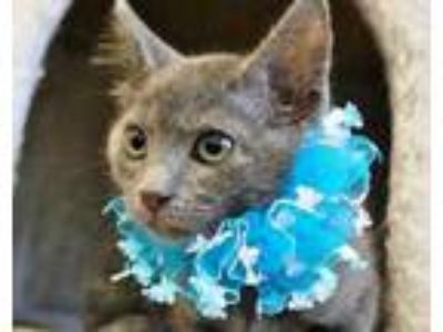 Adopt Miss Kitty a Gray or Blue Domestic Shorthair / Domestic Shorthair / Mixed