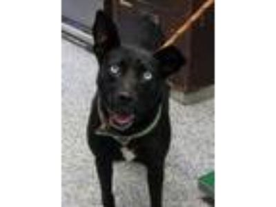 Adopt Hibiscus a Black Terrier (Unknown Type, Small) / Mixed dog in Pickens