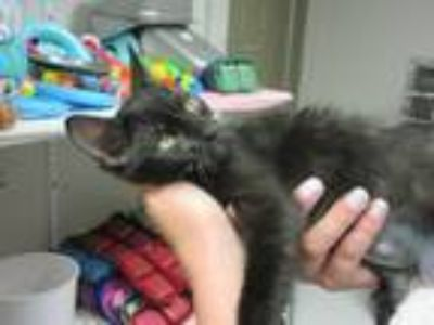 Adopt Immabe a Domestic Shorthair / Mixed (short coat) cat in Logan
