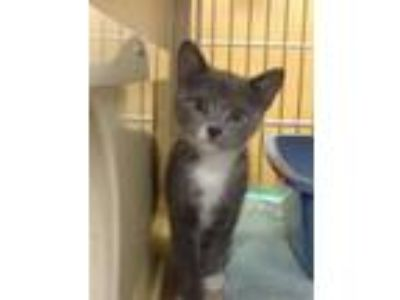 Adopt Eleanor Mewsavelt a Gray or Blue (Mostly) Domestic Shorthair / Mixed cat