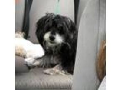 Adopt Cookie a Black Terrier (Unknown Type, Small) / Mixed Breed (Small) dog in