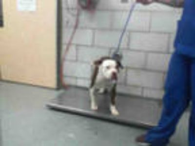 Adopt PABLO a Brown/Chocolate - with White American Pit Bull Terrier / Mixed dog