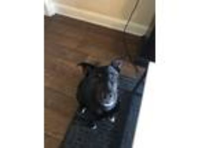 Adopt Molly a Black - with White Labrador Retriever dog in Riverside