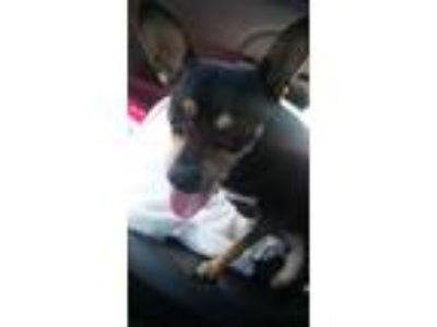 Adopt Miles a Black - with Tan, Yellow or Fawn Miniature Pinscher / Mixed dog in