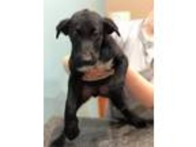 Adopt Twinkie a Black Labrador Retriever, Collie