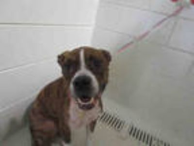 Adopt MARY a Brindle - with White Boxer / Mixed dog in Winter Haven