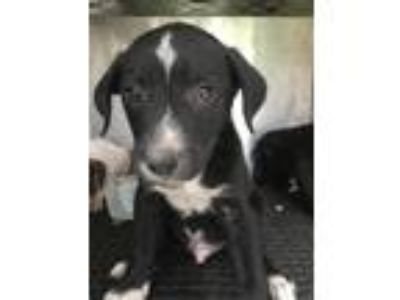 Adopt Thumper a Labrador Retriever / Terrier (Unknown Type