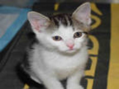 Adopt SKETCHERS a Brown Tabby Domestic Shorthair / Mixed (short coat) cat in