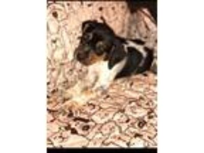 Adopt Ruby a Bluetick Coonhound, Hound