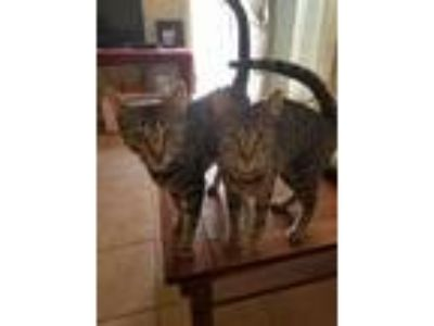 Adopt Lilo & Luna a Gray or Blue (Mostly) American Shorthair / Mixed cat in