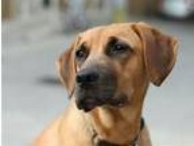 Adopt Groot a Tan/Yellow/Fawn - with Black German Shepherd Dog / Labrador