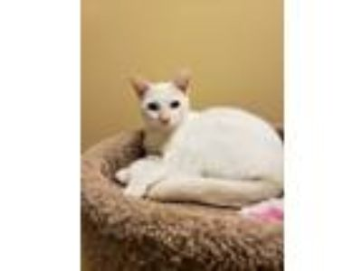 Adopt MARSHMALLOW a Orange or Red (Mostly) Domestic Shorthair / Mixed cat in