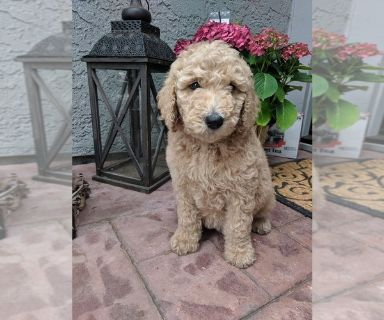 Goldendoodle-Poodle (Standard) Mix PUPPY FOR SALE ADN-131446 - F1B Goldendoodle