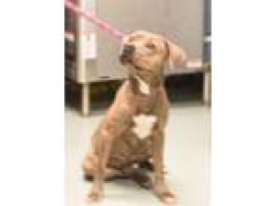 Adopt Skipper a American Staffordshire Terrier, Hound