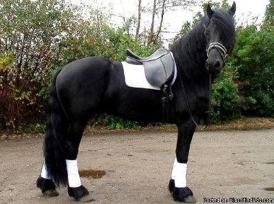 Beautiful Friesian Gelding Horse