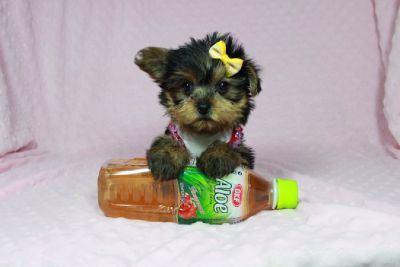 Teacup & Toy Yorkie puppies by breeder in Las Vegas!