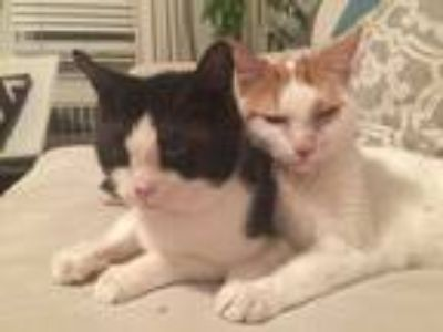 Adopt Nino and Nina a White (Mostly) American Shorthair / Mixed cat in