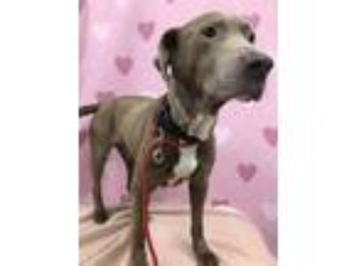 Adopt DUSTY a Brown/Chocolate Retriever (Unknown Type) / Weimaraner / Mixed dog