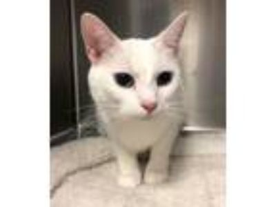 Adopt Aspen a Domestic Short Hair