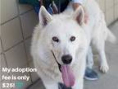 Adopt CLYDE a White Husky / Mixed dog in Martinez, CA (25557208)