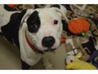 Adopt EVAN a White - with Black American Pit Bull Terrier / Mixed dog in