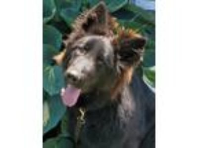Adopt Sable a Black German Shepherd Dog / Mixed dog in Mocksville, NC (25283189)