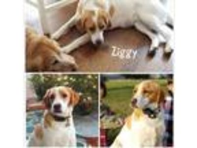 Adopt Ziggy - courtesy post a White - with Red, Golden, Orange or Chestnut