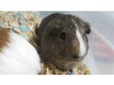 Adopt Boy a Guinea Pig (short coat) small animal in Brooklyn, NY (25823064)