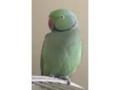 Adopt Rico a Green Ringneck bird in Stratford, CT (18508124)