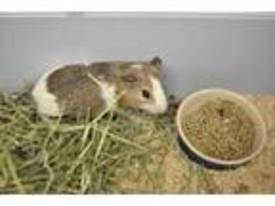 Adopt Kira a Brown or Chocolate Guinea Pig / Guinea Pig / Mixed small animal in