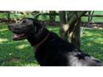 Adopt Spencer a Black Labrador Retriever / Mixed dog in Towson, MD (22855691)