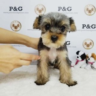 YORKSHIRE TERRIER - DERRICK - MALE
