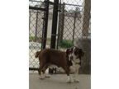 Adopt BOBO a Basset Hound / Mixed Breed (Medium) / Mixed dog in Rome