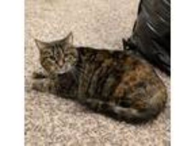 Adopt Cookie a Tortoiseshell Domestic Shorthair (short coat) cat in Grayslake