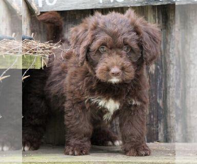 Newfoundland Puppies Classifieds Clazorg