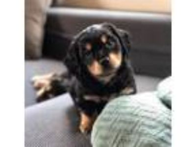 Adopt Ricky a Dachshund, Mixed Breed