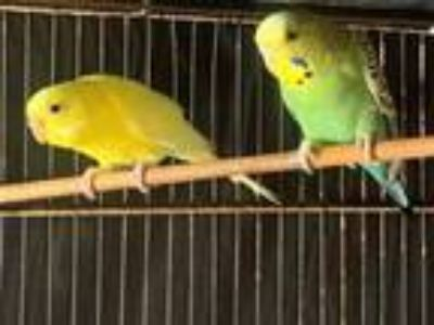 Adopt Tweety a Parakeet (Other)
