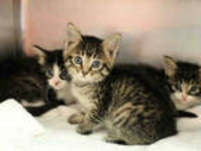 Adopt PALETTE a Brown Tabby Domestic Mediumhair / Mixed (medium coat) cat in San