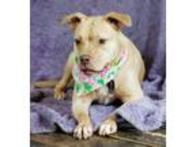 Adopt Baby a Tan/Yellow/Fawn Pit Bull Terrier / Mixed dog in Lawrenceville
