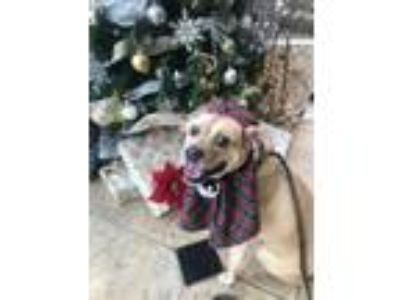 Adopt Goldilocks a Boxer, Shepherd