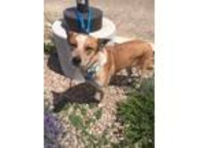 Adopt Abbey a Australian Cattle Dog / Blue Heeler
