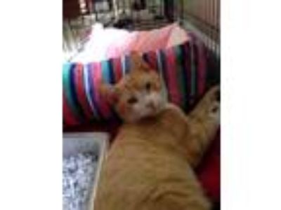 Adopt Jade a Orange or Red Domestic Shorthair / Domestic Shorthair / Mixed cat