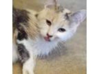 Adopt Gracie a Calico or Dilute Calico Domestic Shorthair cat in Toledo