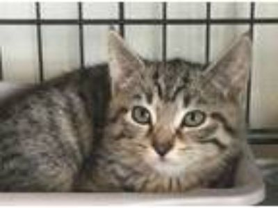 Adopt Hermione a Domestic Short Hair, Tabby