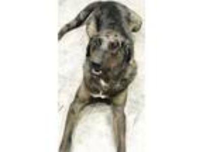Adopt Shooter a Brindle Catahoula Leopard Dog / Labrador Retriever / Mixed dog