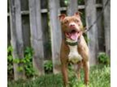 Adopt King a Red/Golden/Orange/Chestnut Pit Bull Terrier / Mixed dog in