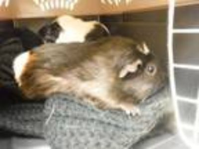 Adopt Goldie a Black Guinea Pig / Guinea Pig / Mixed small animal in Winchester