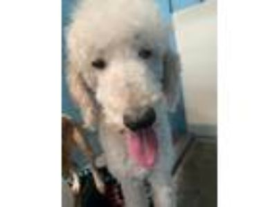 Adopt Sarge a White Standard Poodle / Mixed dog in Joplin, MO (25217123)